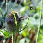 Carde mit Biene u. Schmetterling